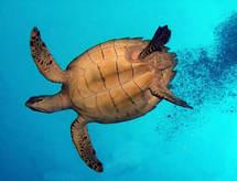L'océan Indien, l'endroit le plus dangereux pour les tortues marines