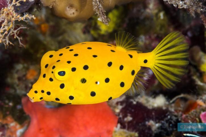 Un poisson-coffre jaune (crédit : Fishpedia.fr)