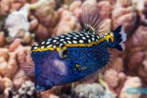 Un poisson-coffre pintade (crédit : Fishpedia.fr)