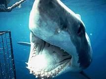"""Le Grand requin blanc, """"une merveilleuse machine qui va disparaître"""""""