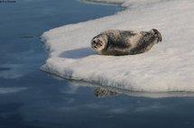 Une maladie mystérieuse affecte et tue des phoques dans l'Arctique