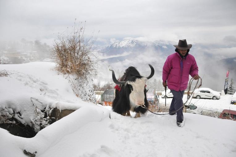 Inde : au moins 300 yacks morts de faim dans l'Himalaya