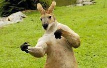 Une Australienne agressée par un kangourou en sortant ses chiens