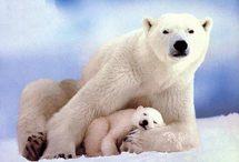Appel en faveur des ours polaires, menacés par le réchauffement climatique