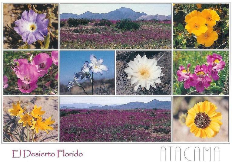 """Chili: Atacama, le désert """"en fleurs"""" comme jamais depuis 20 ans"""
