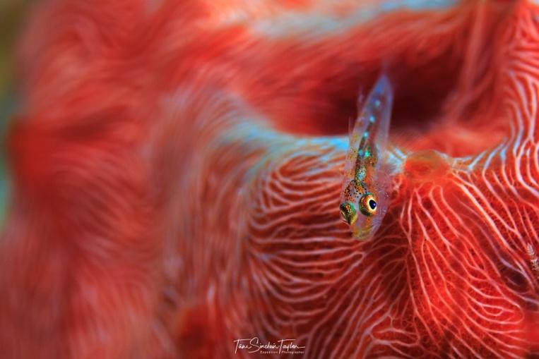Une larve crypto-benthique, véritable bonbon pour les poissons de récif. Appétissant non ? (crédit photo : Tane Sinclair Taylor)