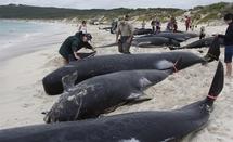 NelleZélande: 61 baleines pilotes échouées et mortes sur une plage