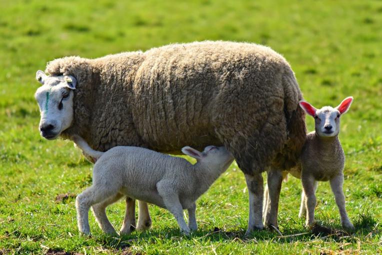 La fin de l'impunité pour les voleurs de bétail en Nouvelle-Zélande