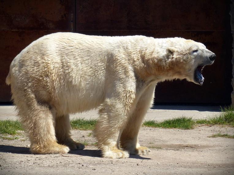 Russie: un ours blanc affamé repéré à plus de 800 km de son habitat