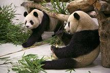 Le prêt de deux pandas de la Chine à la France, quasiment secret d'Etat