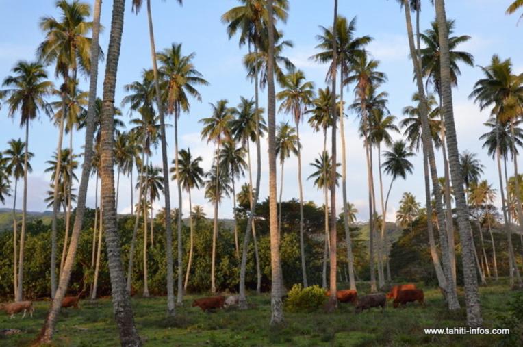 Le cocotier, un atout sous-exploité
