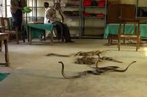 Inde: mécontent, il lâche des dizaines de serpents dans un bureau des impôts