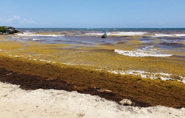 Mexique : des navires spéciaux pour éliminer les sargasses des plages