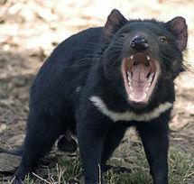 Mesures extrêmes pour préserver les gènes du Diable de Tasmanie