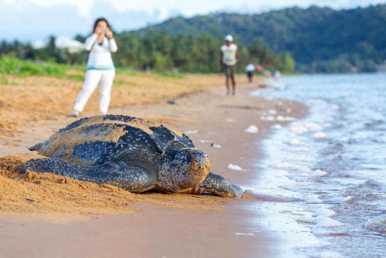 En Guyane, la tortue luth se fait de plus en plus rare