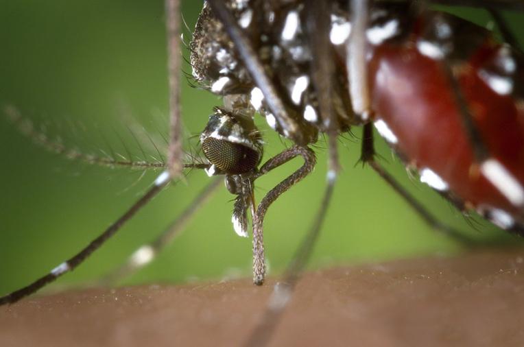 """Zika, dengue et """"chick"""": la progression du moustique tigre favorise leur propagation en France"""