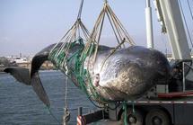 """Reprise de la pêche à la baleine: Australie, Nouvelle-Zélande et USA """"déçus"""""""