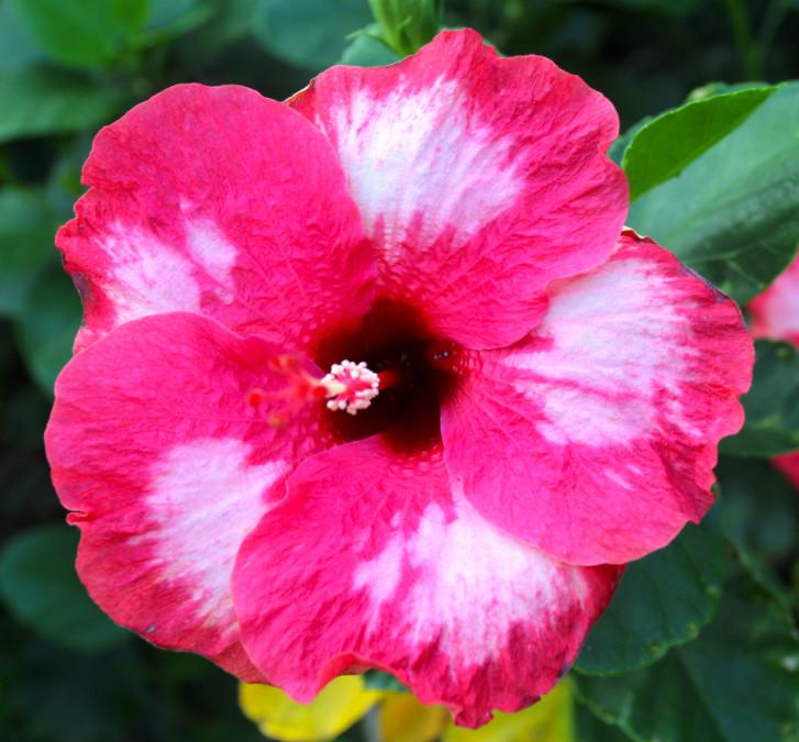 Très belle fleur de Raivavae, délicatement tachée de blanc. Hibiscus vient du latin hibiscum, désignant la guimauve, hibiscum venant lui-même du grec ancien  hibiscos. La fleur de la guimaune (Althaea officinalis) ressemble en effet aux fleurs simples des hibiscus.