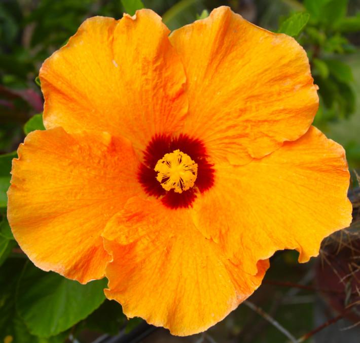 C'est en Australie que la base de données des hibiscus, mise sans cesse à jour, est centralisée, avec plus de 9 000 variétés.