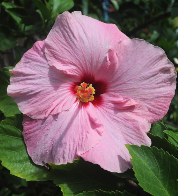 Fleurs, feuilles (laxatives !), racines, tout est bon dans l'hibiscus qui a de très nombreuses propriétés médicinales. Mais attention aux charlatans !