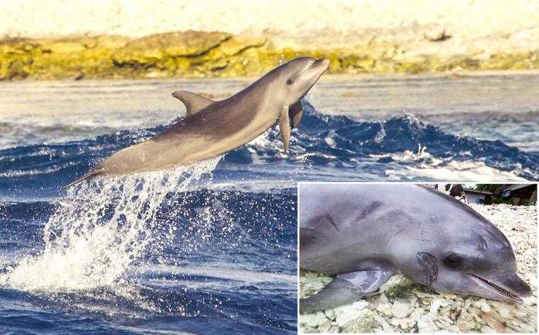 La femelle dauphin Rose avait élu domicile dans la passe de Tiputa, où elle avait pour habitude de surfer. Elle y est décédée ce dimanche 14 juillet, après une collision avec le Paul Gauguin. (Crédit photo : Pamela Carzon - Groupe d'Étude des Mammifères Marins - GEMM)