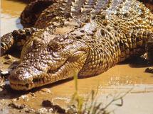 Belgique: la police découvre 12 crocodiles vivants dans une villa