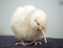 Nouvelle-Zélande : nouvelle naissance d'un kiwi blanc, espèce rare et sacrée