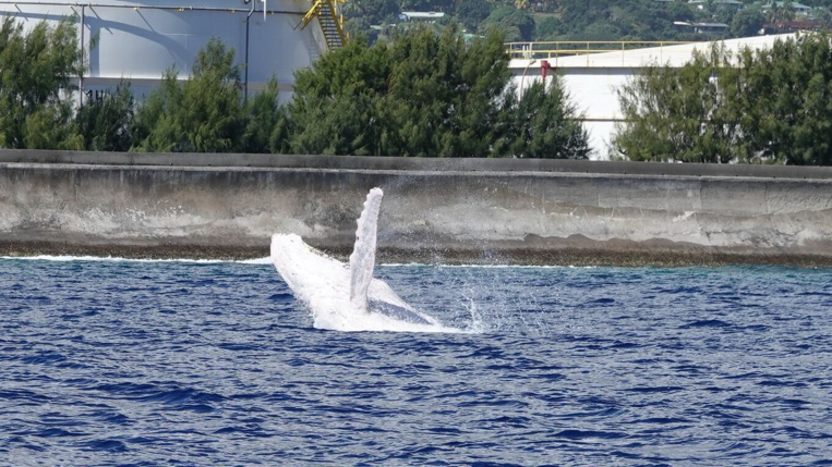 Une baleine blanche à Papeete