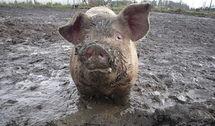 Des excréments de cochons pour chasser des adolescents fauteurs de trouble