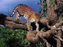Des léopards prennent l'avion pour repeupler un parc du Malawi