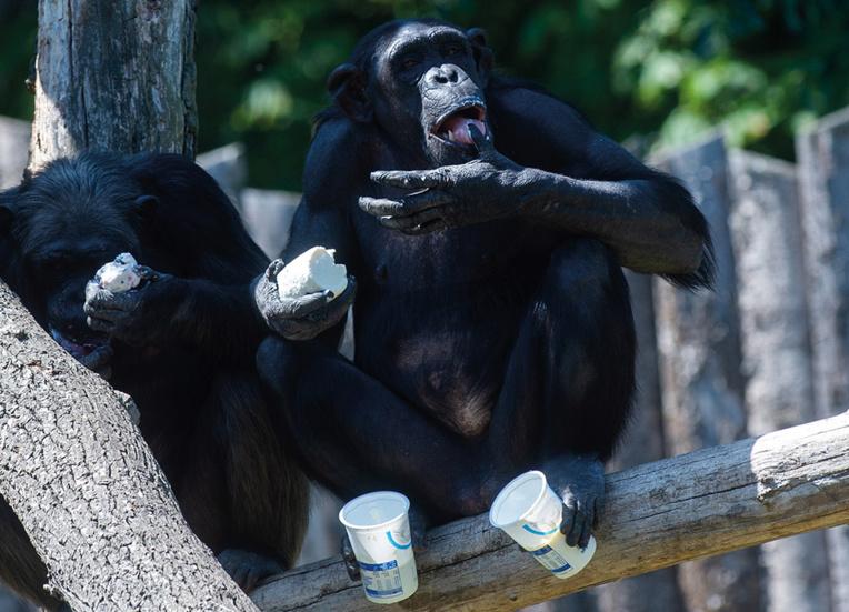 Loire: un soigneur de zoo gravement blessé par un chimpanzé