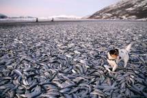 Des milliers de poissons s'échouent mystérieusement en Norvège