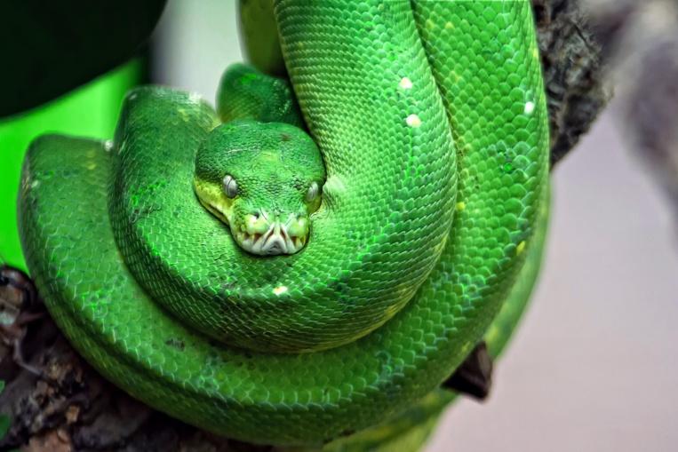 """A Antibes, saisie dans un appartement de serpents """"parmi les plus venimeux au monde"""""""
