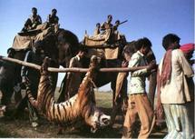 La lutte contre le braconnage des tigres s'organise
