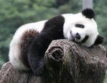"""Chine: Le thé """"le plus cher du monde"""" cultivé dans la crotte de panda"""