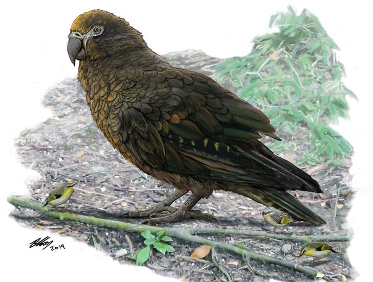 """Nouvelle-Zélande: découverte des restes d'""""Hercule"""", un perroquet géant"""
