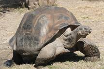 On la croyait éteinte, une espèce de tortue réapparaît aux Galapagos