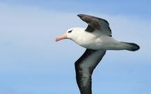 Le changement climatique positif pour les albatros...pour le moment