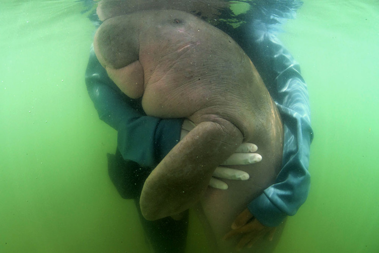"""Thaïlande: mort du bébé-star dugong """"Mariam"""", victime des déchets plastiques"""