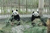 "Les ""Very Important Panda"" Huan Huan et Yuan Zi sont arrivés en France"