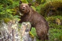 Sarkozy aurait préféré qu'on ne réintroduisît pas d'ours dans les Pyrénées