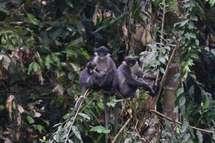 Découverte à Bornéo d'une espèce rare de primate qu'on pensait éteinte