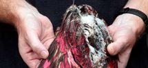 Un Néo-Zélandais sème la perplexité chez les ornithologues