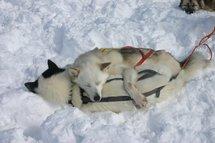 """Un """"musher"""" sauvé par ses chiens qui le couvrent et alertent les secours"""