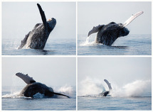 """La pollution sonore provoque un """"stress chronique"""" chez les baleines"""
