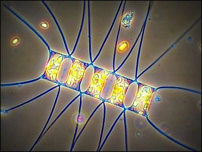 Ces microalgues servent à nourrir les huitres dans l'écloserie
