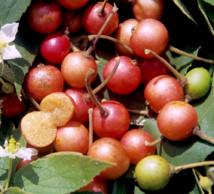 """Vaitupa : le temps des """"cerises""""…"""
