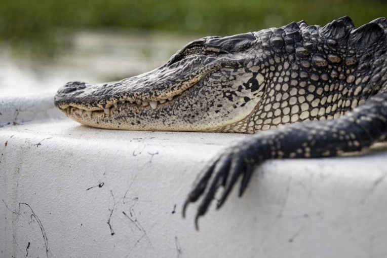 Deux hommes arrêtés en Floride après avoir fait boire de la bière à un alligator