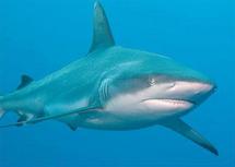 Les requins plus meurtriers en 2011, l'homme responsable
