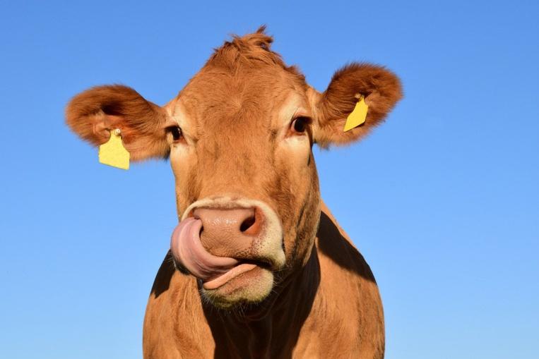 USA: trois vaches emportées par un ouragan retrouvées vivantes sur une île